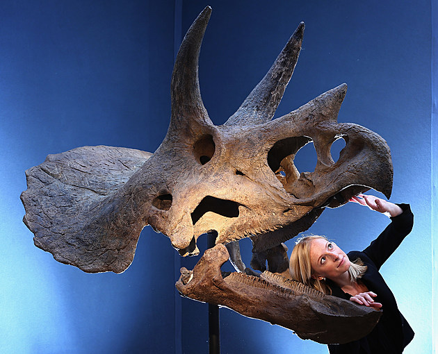 Triceratops Fossils Found in Thornton Is Actually A More Rare Dinosaur